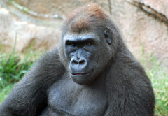 Muchana (Courtesy UPI Photo/St. Louis Zoo)