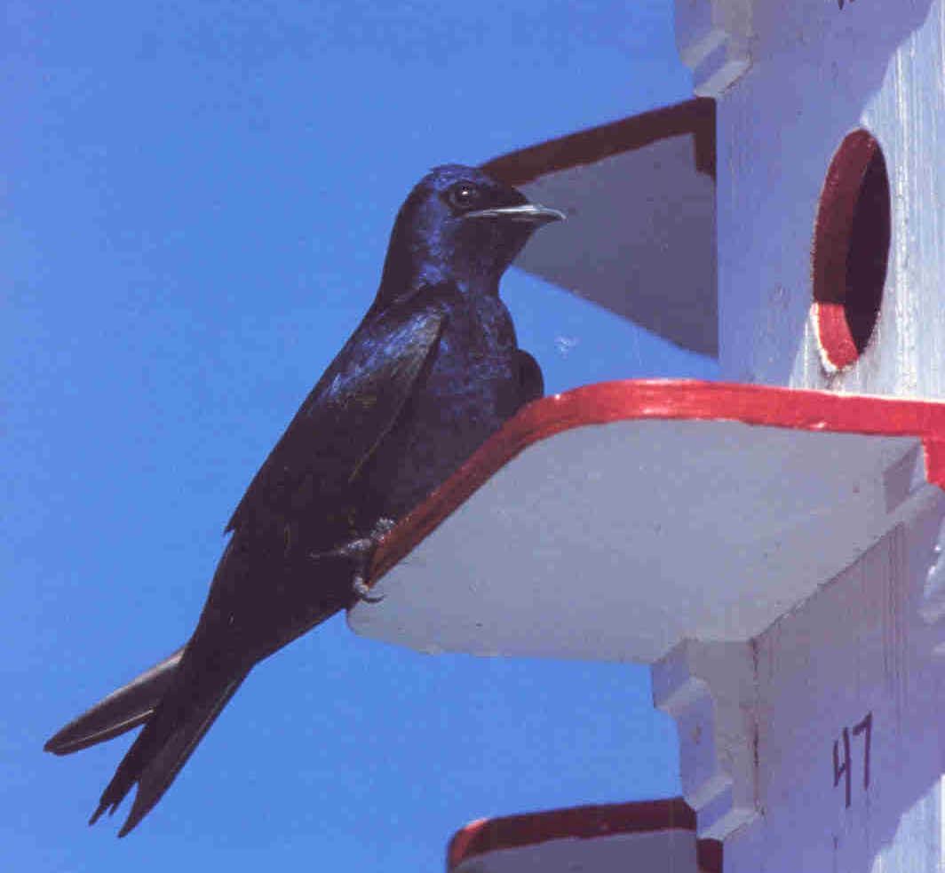 Adult male purple martin (purplemartin.org)