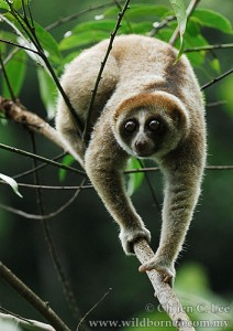 One of the newly identified species of slow loris is the Nycticebus kayan. (Photo credit: Ch'ien C Lee)