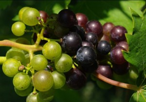 Grapes at Stone Hill Winery in Hermann (photo courtesy; missouriwine.org)
