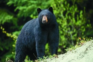 Black Bears range from 45-78 inches tall and weigh up to 900 pounds.  (Bear photos courtesy; Missouri Department of Conservation)