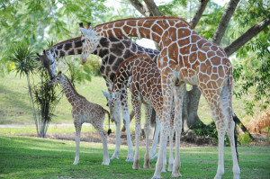 Happy Family: A baby giraffe has been born to two giraffes that went to Zoo Miami from zoos in Missouri.  (Ron Magill/Zoo Miami)