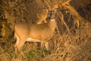A White-tailed Deer doe searches for food during the fall season at Squaw Creek National Wildlife Refuge in Mound City, MO.