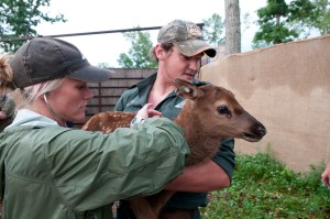 Kelly Straka and Jake Rieken of the Missouri Department of Conservation inpecting elk calf