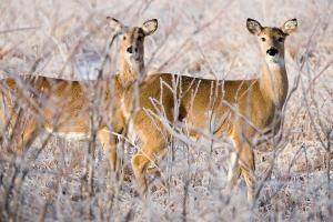 White-Tailed deer (photo courtesy; Missouri Department of Conservation/Noppadol Paothong)