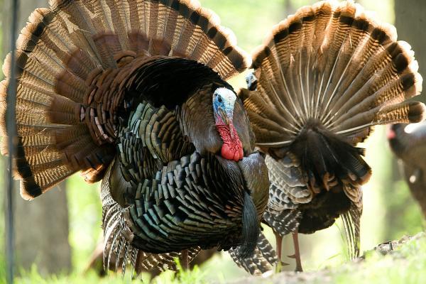 Preparing for the turkey hunting season as I continue ...