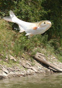When frightened, the silver carp may jump out of the water and injure boaters.