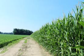 corn and soybeans2