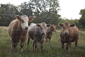 Cows by a fence (photo: Happy Fence Friday, Larry Brown)
