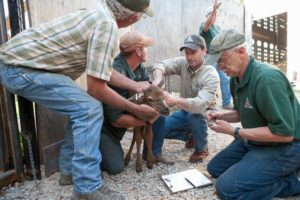 Robert Ziehmer (third from left) helps collar a baby elk.  (photo courtesy; Missouri Department of Conservation)