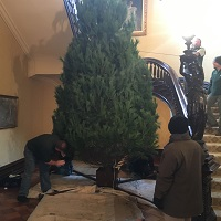 18-foot White Pine tree next to the stairway at the Governor's Mansion in Jefferson City