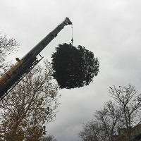 Large outside Christmas tree being lowered to the grounds outside the Governor's Mansion