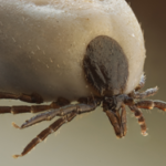 Missouri state park workers being tested for tick-borne virus