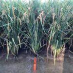Missouri college develops new rice variety